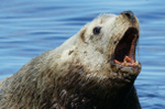 Sea_lion_roar